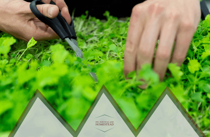 how to pick trim or prune herbs