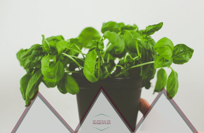 Basics of Basil Plant Care 8 dos and donts