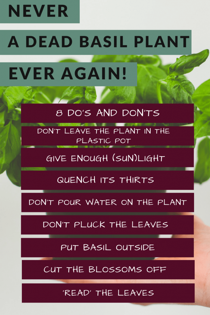 basil plant care eight dos and donts