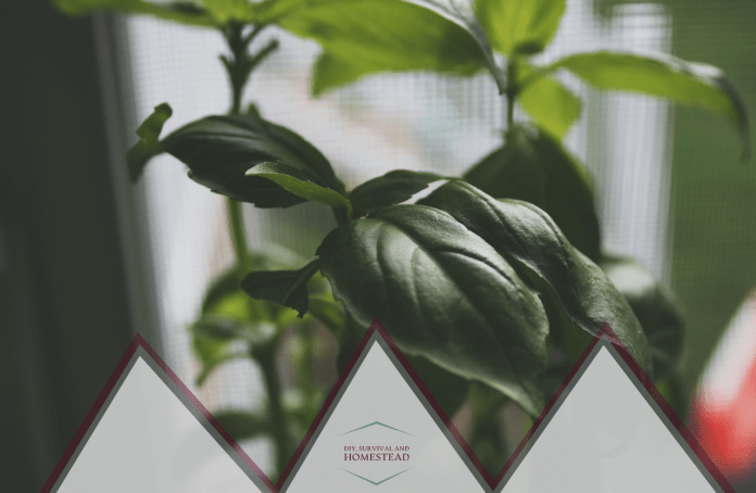 how to grow basil indoors and outdoors